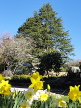 Daffodils - accommodation at Leura